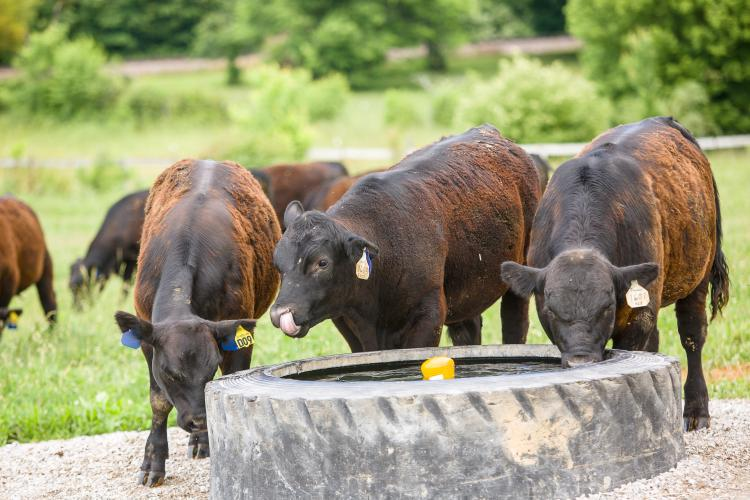 Beef cattle getting a drink
