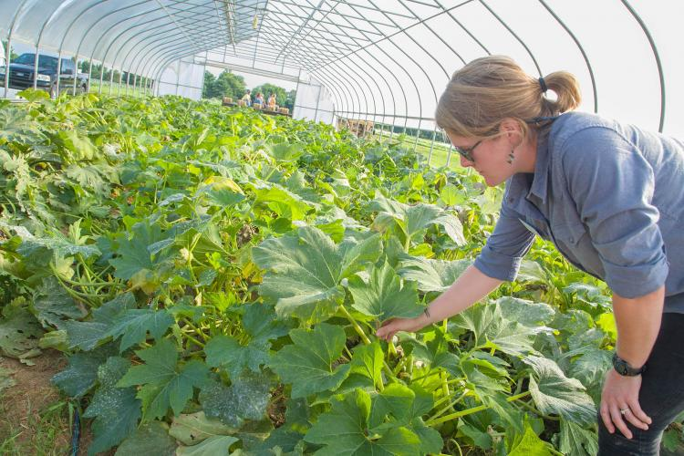 Rachel Rudolph examines plants in a high tunnel.
