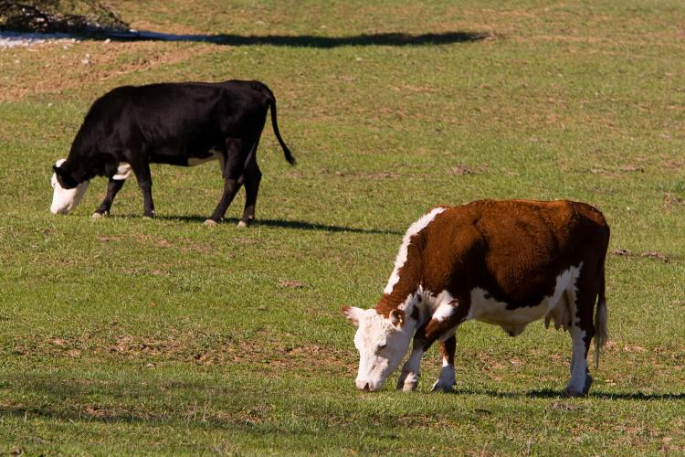Cattle grazing. Photo by Steve Patton, UK agricultural communications.
