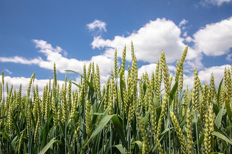 Wheat growing in  a field. Photo by Steve Patton, UK agricultural communications.