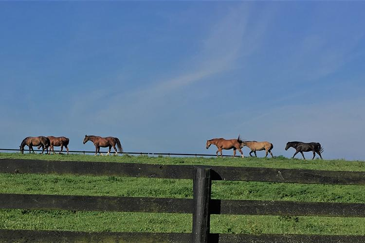 UK researcher Amanda Adams' geriatric horse herd at the University of Kentucky. Photo by Alisa Herbst, UK doctoral student.