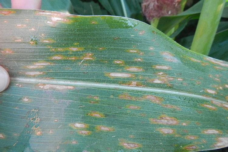 Foliar diseases like gray leaf spot (pictured here) commonly appear in corn during grain fill. Photo courtesy of Kiersten Wise, UK extension plant pathologist.