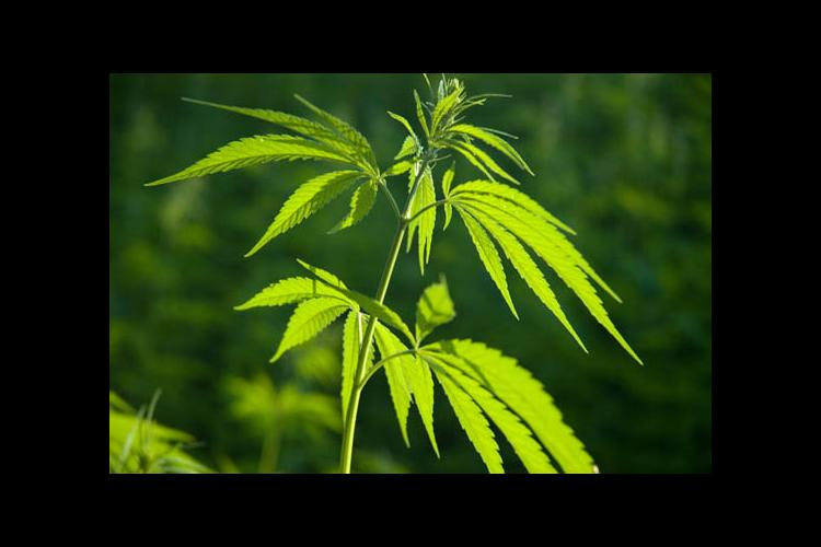 Industrial hemp is a fiber and oilseed crop.