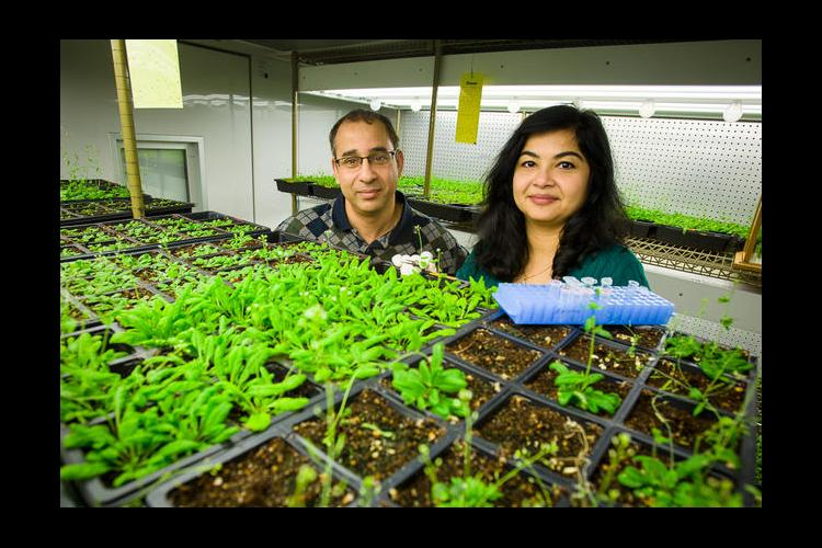 Pradeep, left and Aardra Kachroo study systemic resistance using the model plant Arabidopsis.