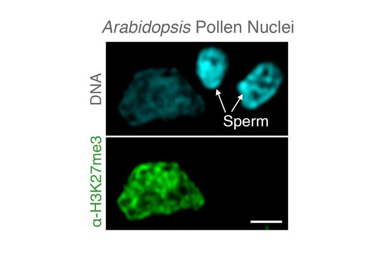 A microscopic image of Arabidopsis pollen nuclei showing the removal of epigenetic memories specifically in sperm genomes.  Photo by Michael Borg, Gregor Mendel Institute, Austria.