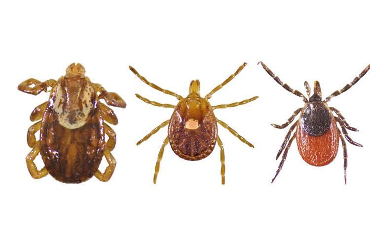 Female versions of the most common ticks found in Kentucky are from left: the American dog tick, the lonestar tick and the blacklegged tick. Photos courtesy of Anna Pasternak, UK entomology graduate student.
