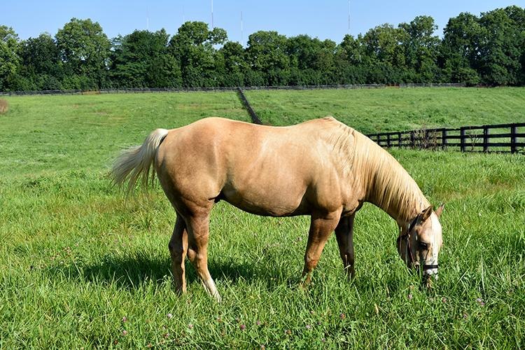 A horse grazes on a newly renovated pasture at Locust Trace AgriScience Center in Lexington. Photo by Katie Pratt, UK agricultural communications.