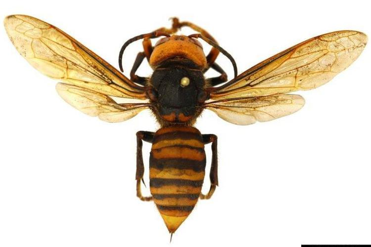 """The Asian giant hornet, also known as the """"murder hornet"""". Photo courtesy of Washington State Department of Agriculture, Bugwood.org."""