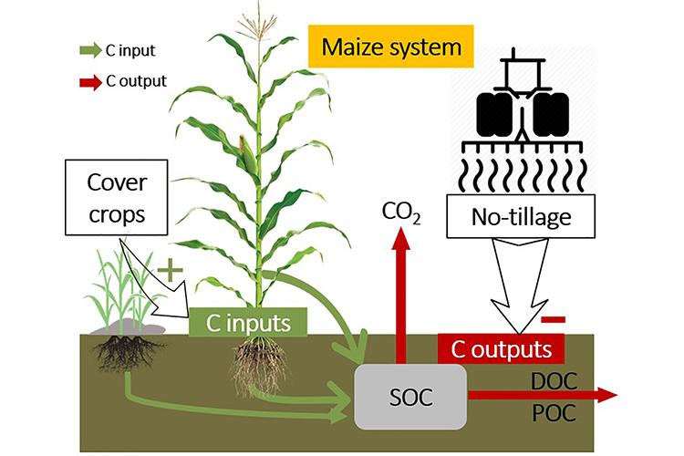 A graphic showing how cover crops and corn stover help keep carbon in the ground. Photo courtesy of Ren lab.