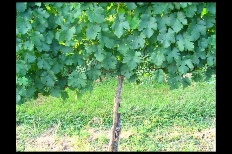 Normal vines with appropriate density