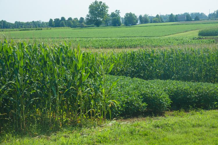 Corn and soybean research plots at UK's Spindletop Farm. Photo by Matt Barton, UK agricultural communications.