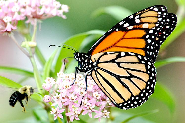 A monarch butterfly and a bee visit a milkweed plant. Photo by Jim Hudgins, U.S. Fish and Wildlife Service.