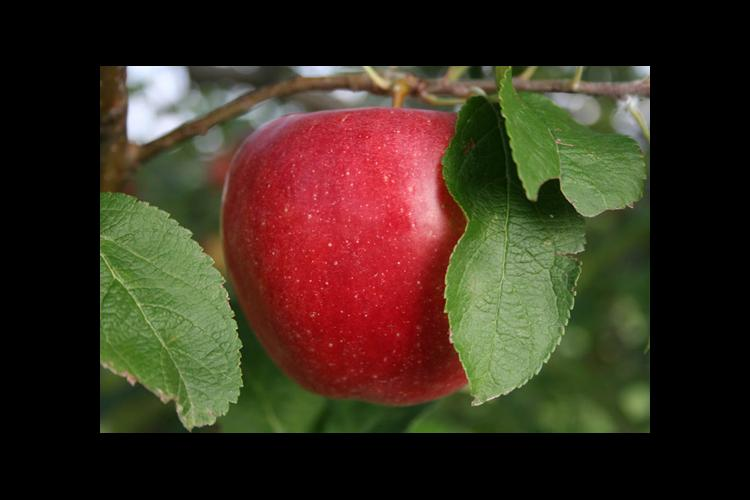 Priscilla is just one of the disease-resistant cultivars available to Kentucky orchardists.