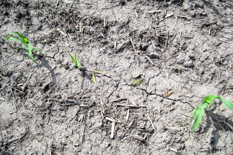 Example of a poor emerged row of corn