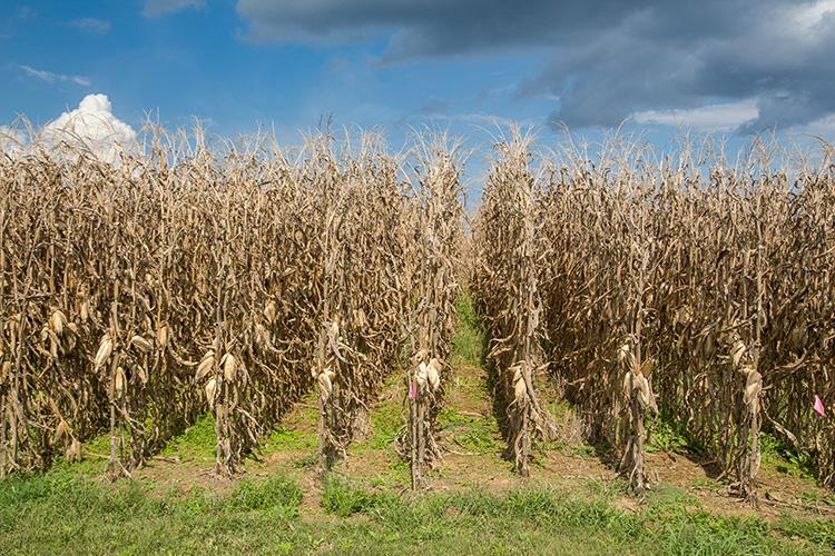 Field drying corn may be a possibility for some Kentucky producers in the next few weeks. Photo by Steve Patton, UK agricultural communications.