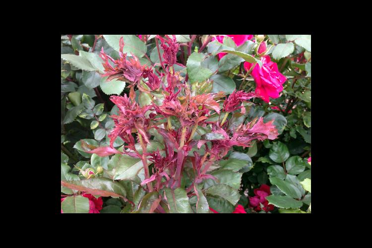 This cane exhibits several symptoms of rose rosette including red discoloration, excessive thorniess and witches' broom.