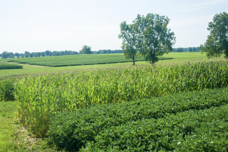 corn and soybean