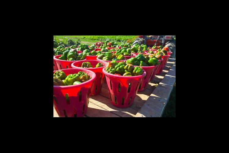 produce from UK Horticulture Research Farm
