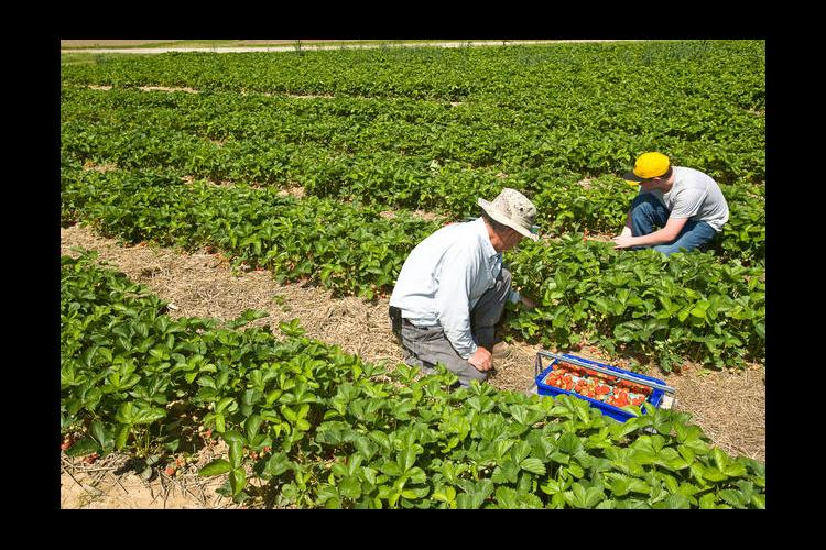 Strawberry harvest at Robinson Center in Quicksand