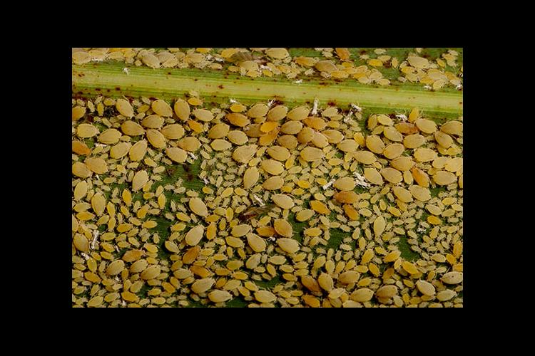 An upclose view of different stages of sugarcane aphids on a sorghum leaf.