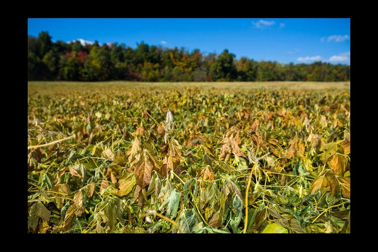Grayson County soybeans wilted by October freeze