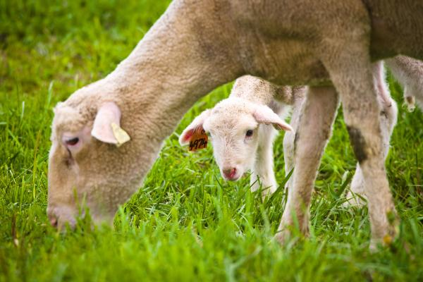 Sheep graze at the UK Animal Research Farm in Woodford County. Photo by Matt Barton