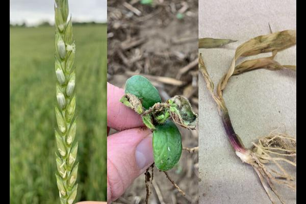 Freeze damage to wheat, soybeans and corn. Wheat and soybean photos by Chad Lee, UK grain crops specialists. Corn photo submitted by Pulaski County farmer.