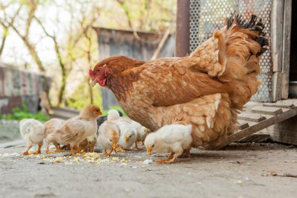 Interest in backyard flocks has grown, especially with folks staying home during the global pandemic. Photo: GettyImages