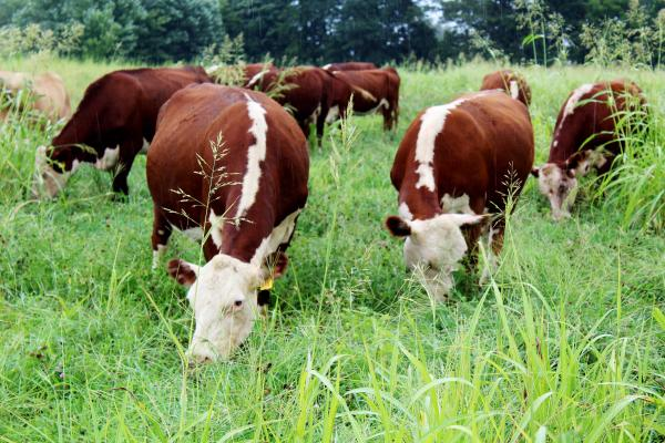Hereford cattle grazing at Dogwood Farm.