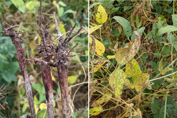 These two pictures show symptoms of red crown rot damage to soybean stems, roots and leaves. Photos by Carl Bradley, UK extension plant pathologist.