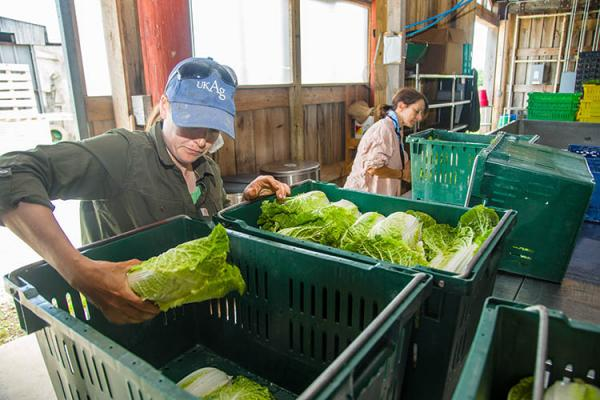 Washing vegetables for the UK-CSA projec, which is part of the Sustainable Agriculture program located at the UK Horticulture Research Farm.