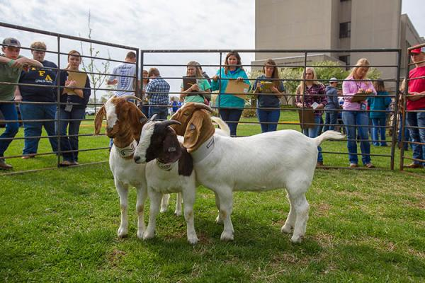 Students compete in livestock judging during UK Field Day 2019.