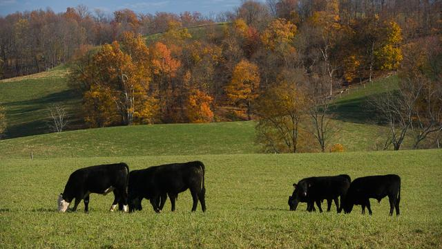 Cattle graze on a Lincoln County farm.