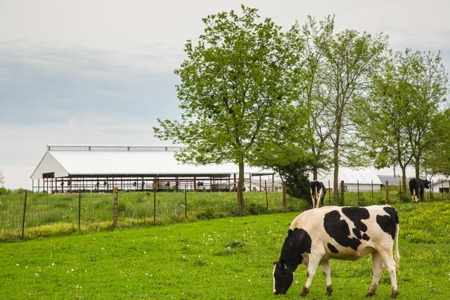 Cow grazing with trees and barn in background