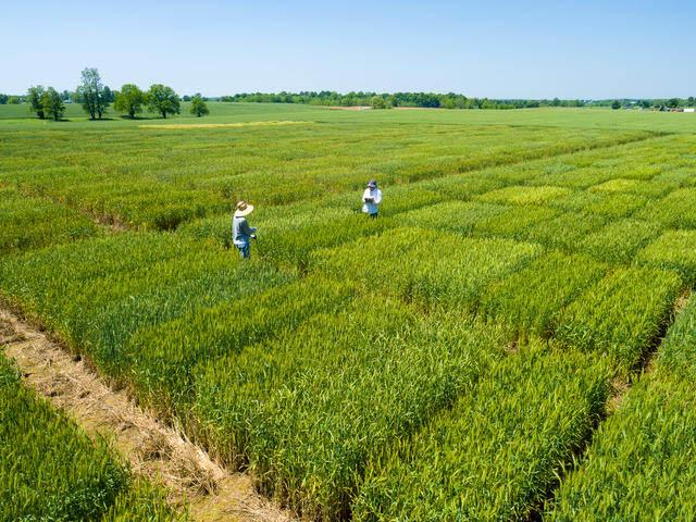 Aerial photo of the 2016 wheat research plots of David Van Sanford of UK Plant & Soil Science.
