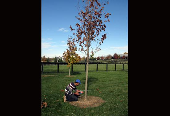 Baker Aljawasim takes a sample of a tree to test for the presence of Verticillium wilt.
