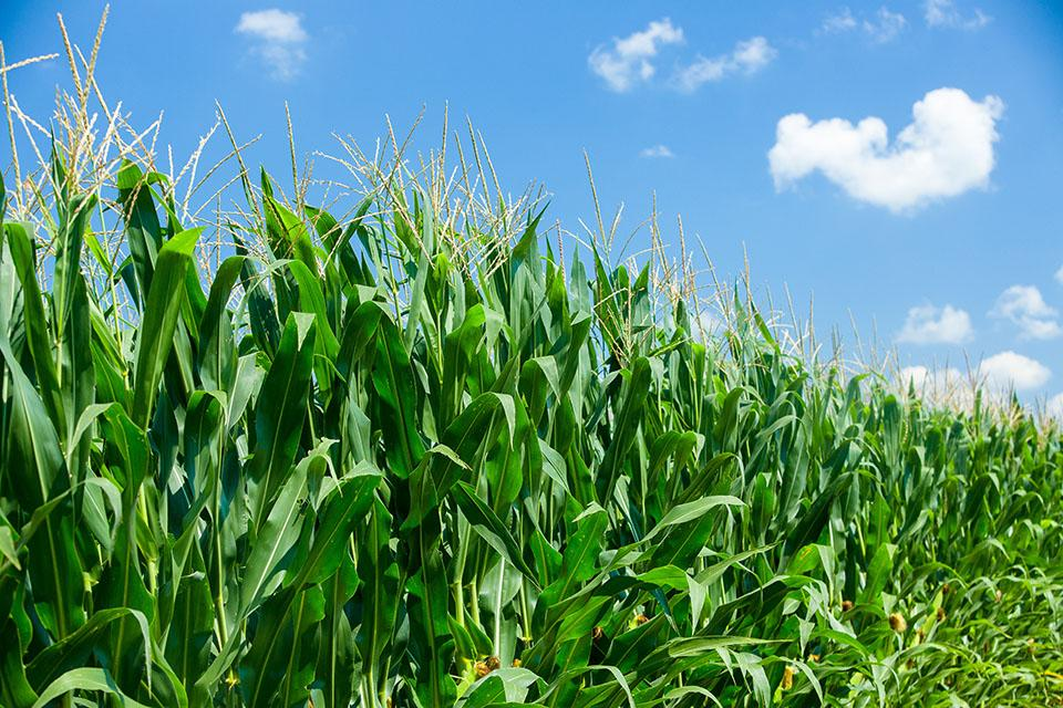 Corn in a field. Photo by Matt Barton, UK agricultural communications.