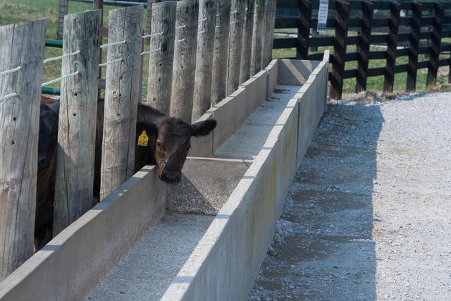 Cow and trough
