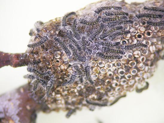 Eastern tent caterpillar egg mass on wild cherry twig