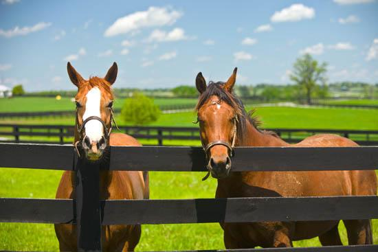 Horses, black fence, blue sky and green pasture