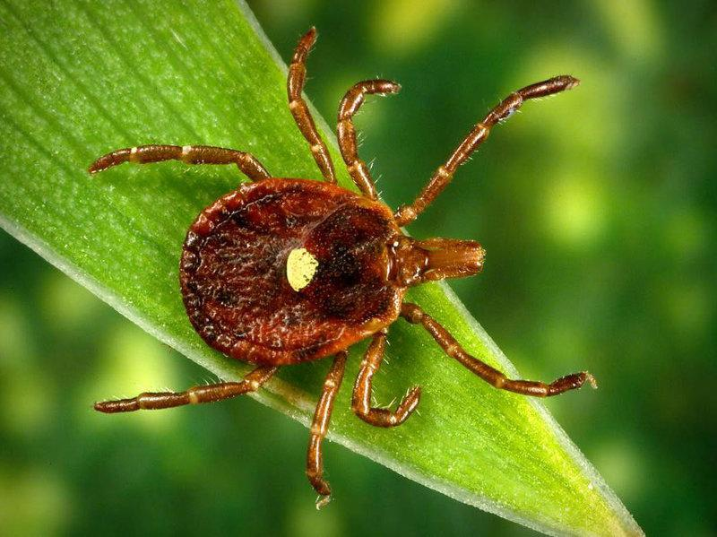 The female lonestar tick is easy to identify with the white spot on her back. Photo from the Centers for Disease Control and Prevention Public Health Image Library.
