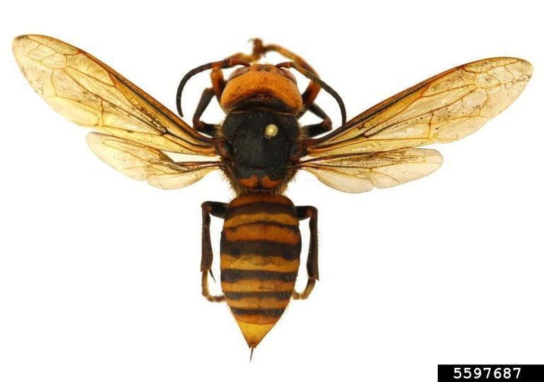 "The Asian giant hornet, also known as the ""murder hornet"". Photo courtesy of Washington State Department of Agriculture, Bugwood.org."