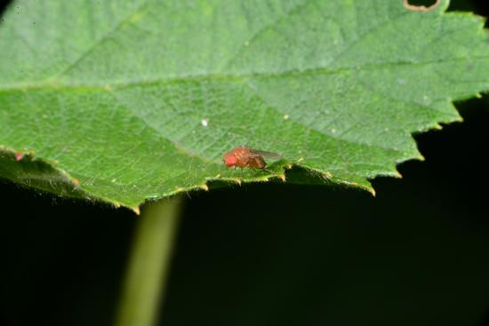 A spotted wing drosophila adult on a blackberry leaf
