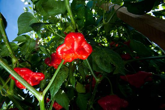 Chefs are invited to submit vegetable ideas for The Arboretum.
