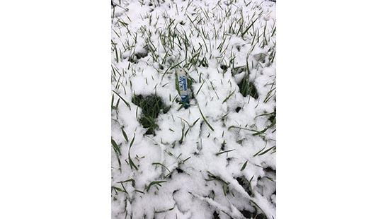 Snow covers wheat in Western Kentucky on March 10.