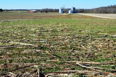 A winter wheat field in mid-December in Caldwell County.