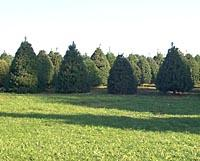 Christmas trees in field