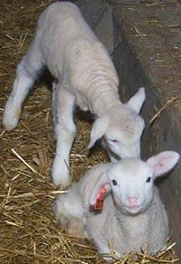 Lambs born at the ARC in 2002