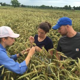 (l-r) Julia Santoro, agriculture research specialist; Ella Szuleta, graduate student in rye genetics;  and Dan Quinn, graduate student working on rye as a cover cover, examine rye heads.
