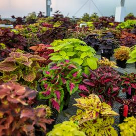 Some of the 111 cultivars being evaluated by scientists at the University of Kentucky.  Photo by Matt Barton